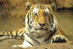 Siberian Tiger, Milwaukee Zoo, Milwaukee, Wisconsin