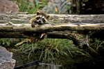 Raccoon Baby on log