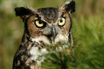 Great Horned Owl, Holland, Michigan