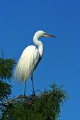 White Egret, Alligator Farm, St. Augustine, Florida