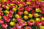 Pink and Yellow Tulips3