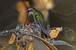 Female Broad-tailed Hummingbird at Nest