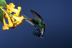 Broad-billed Hummingbird Wings in front