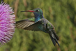 Broad-billed Hummingbird at Thistle