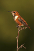 Rufous Hummingbird on twig, Miller Canyon, Arizona