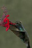 Broad-billed Hummingbird at Scarlet Betony