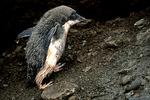 Adelie Penguin Juvenile, Antarctica
