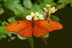 Julia Butterfly, Butterfly World, Coconut Creek, Florida