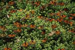 Wintering Monarchs, El Rosario, Mexico
