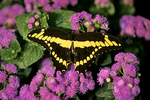 Giant Swallowtail Butterfly, Mosquito Hill, New London, Wisconsin