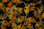 Wintering Monarch Butterflies, Angangeo, Mexico