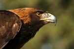 Golden Eagle4, Miller Canyon, Arizona