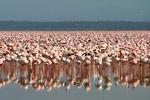 Flamingos9, Kenya, Africa