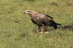Tawny Eagle2, Kenya, Africa