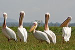White Pelicans2, Kenya, Africa
