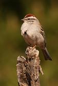 Chipping Sparrow, Miller Canyon, Arizona