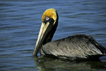 Brown Pelican, Sanibel, Florida