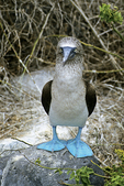 Blue-footed Booby3, Galapagos Islands