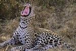 Leopard Yawning, Londilozi, South Africa