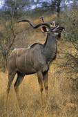 Greater Kudu, South Africa