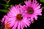 Pink Asters, Appleton, Wisconsin