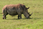 Rhinoceros1, Kenya, Africa