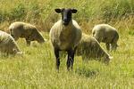 Oregon Sheep