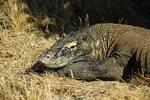 Komodo Dragon, Rinca, Indonesia