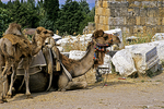 Camels in Hierapolis Ruins, Pammukale, Turkey