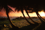 Palm trees and sunset, Barbados