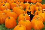 Black cat in pumpkins, Chilton, Wisconsin
