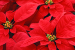 Poinsettias, Christmas, winter, flower, flowers, plant, holiday, red, poinsettia, Appleton, Wisconsin