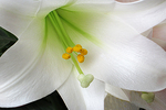Easter Lily close-up, Appleton, Wisconsin