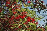 Cherries in Orchard, Sister Bay, Door County, Wisconsin