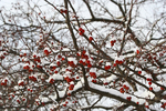 Crabapples in snow, Appleton, Wisconsin