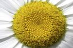 Daisy flower, Appleton, Wisconsin
