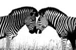 Zebra Pair Silhouette, Kruger National Park, South Africa