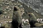 Fur Seals on Bailey Head, Antarctica