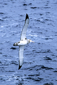 Wandering Albatross, Antarctica
