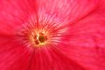 Pink Petunia Closeup, Bailey's Harbor, Door County, Wisconsin