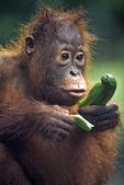 Orangutan with Cucumber, Camp Leakey, Borneo, Indonesia