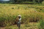 Harvesting Rice by Hand, Bali, Indonesia