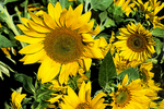 Sunflowers at Market, Appleton, Wisconsin