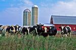 Cows & Barn, Greenville, Wisconsin