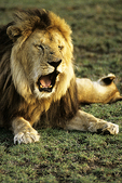 Male Lion yawning, Tanzania, Africa