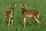 Two fawns in field, Sandstone, Minnesota