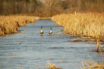 Geese in open water, Shiocton, Wisconsin