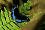 Blue Banded Eggfly Butterfly, Sepik River, Papua New Guinea