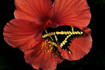 Giant Swallowtail Butterfly on Hibiscus, Boerner Gardens, Milwaukee, Wisconsin
