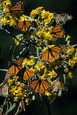 Monarchs on Asclepia, El Rosario, Mexico
